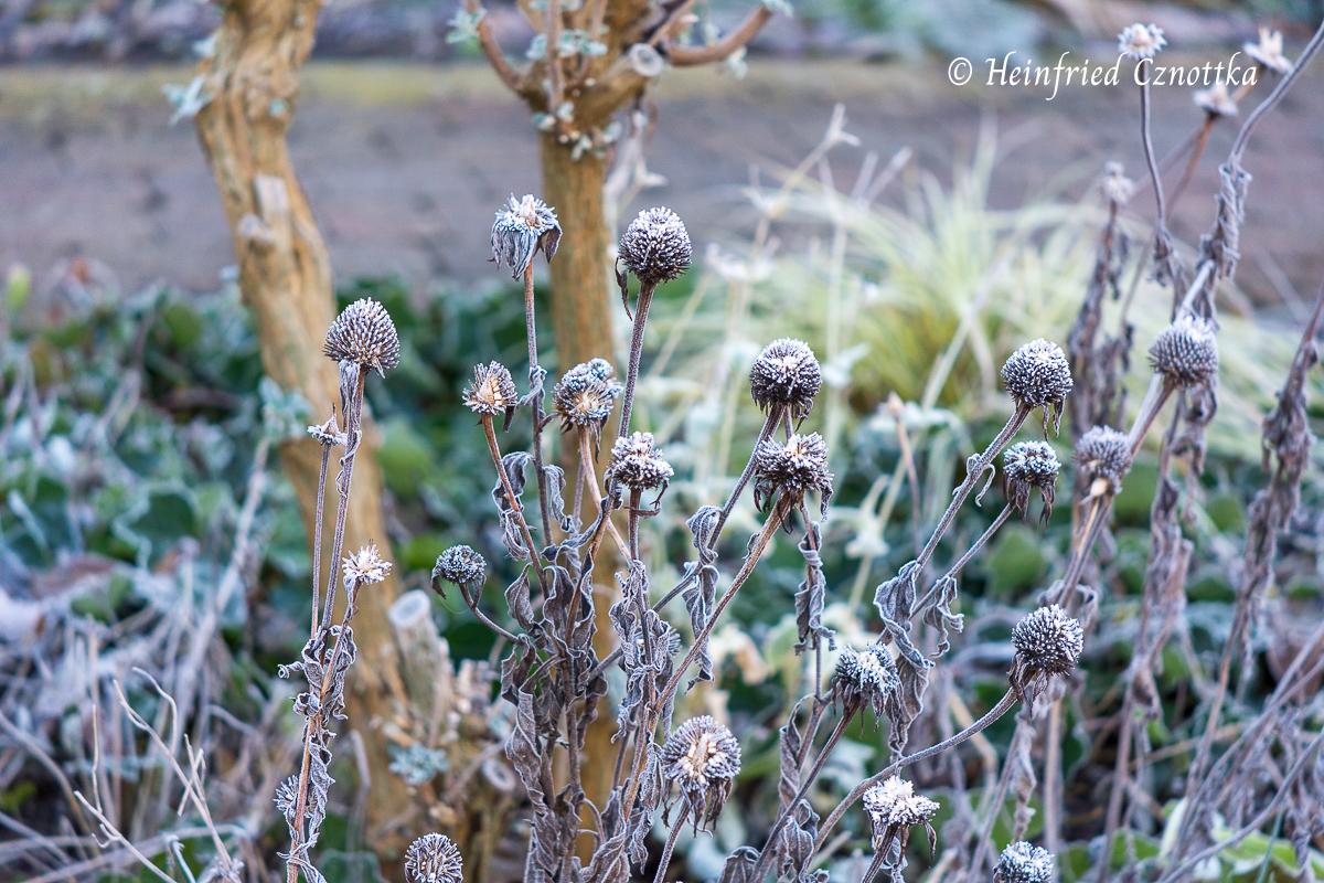 Samenstände von Echinacea purpurea mit Reif