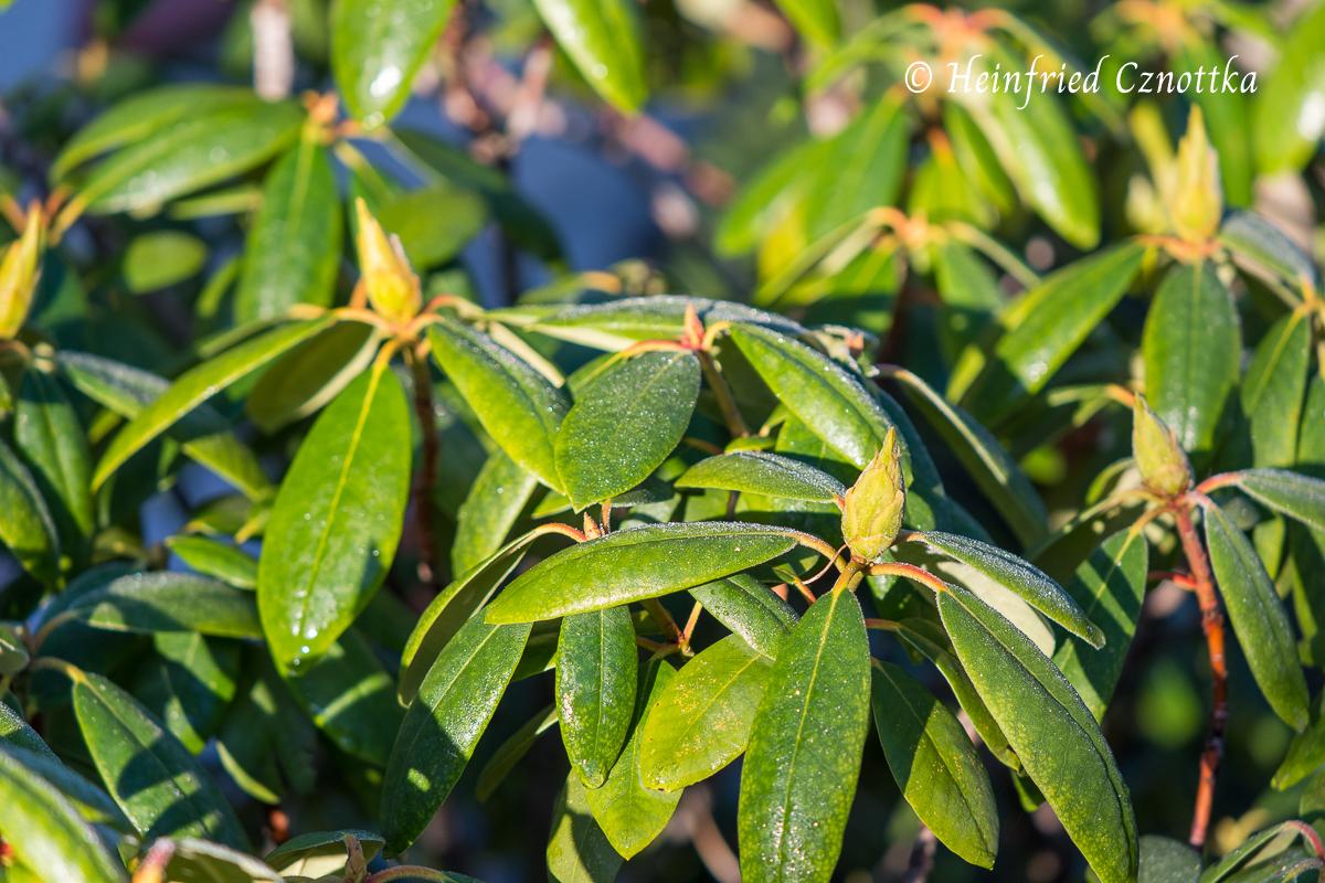 Gesunde Blütenknospen am Rhododendron