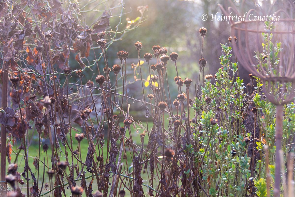 Samenstände des gelben Sonnenhutes im Gegenlicht