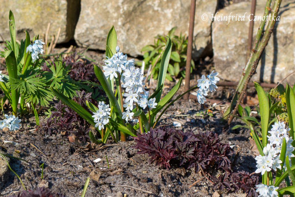 """Puschkinien (Puschkinia scilloides var. libanotica) zwischen dem frischen Austrieb eines rotlaubigen Storchschnabels (Geranium """"Dark Reiter"""")"""