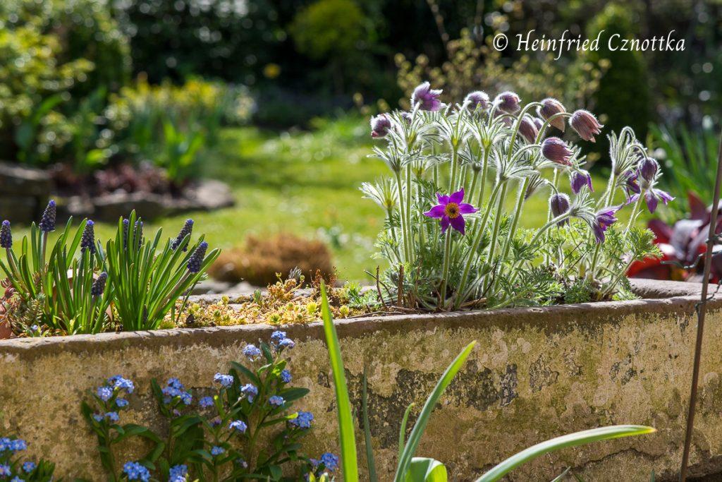 Nickende Blüten der Küchenschelle in einem Pflanztrog