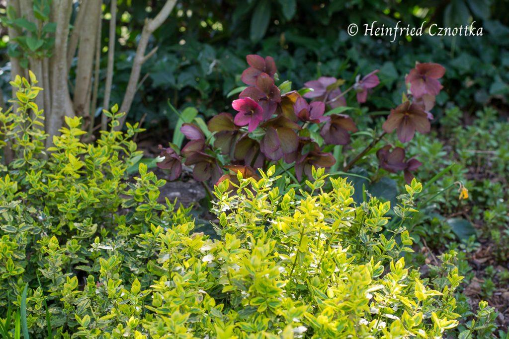"""Ein schöner Kontrast: dunkelrote Blüten einer Lenzrose zum gelbgrünen Laub der immergrünen Kriechspindel (Euonymus fortunei """"Emerald and Gold"""")."""