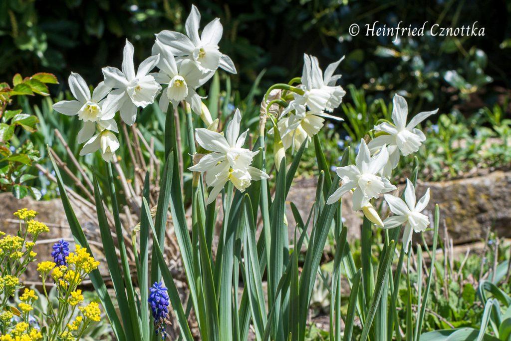 "Engelstrompeten-Narzisse ""Thalia"" (Narcissus ""Thalia"")"