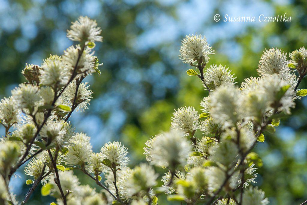 Zarte Blüten des Federbuschstrauchs im Frühling