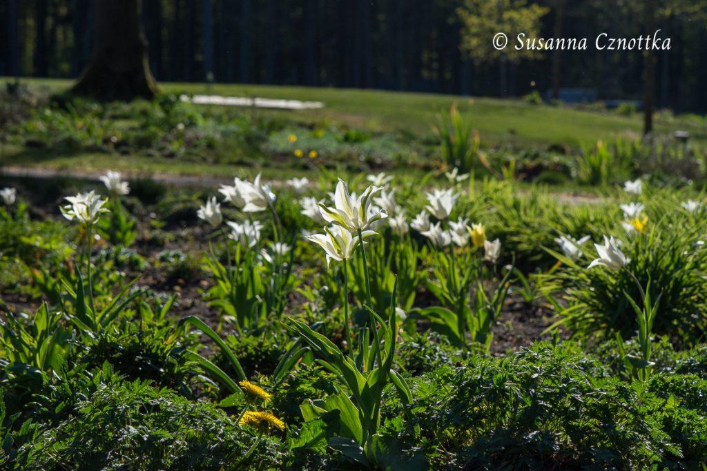 Gartenschau Bad Lippspringe, Zarte Tulpen im Gegenlicht