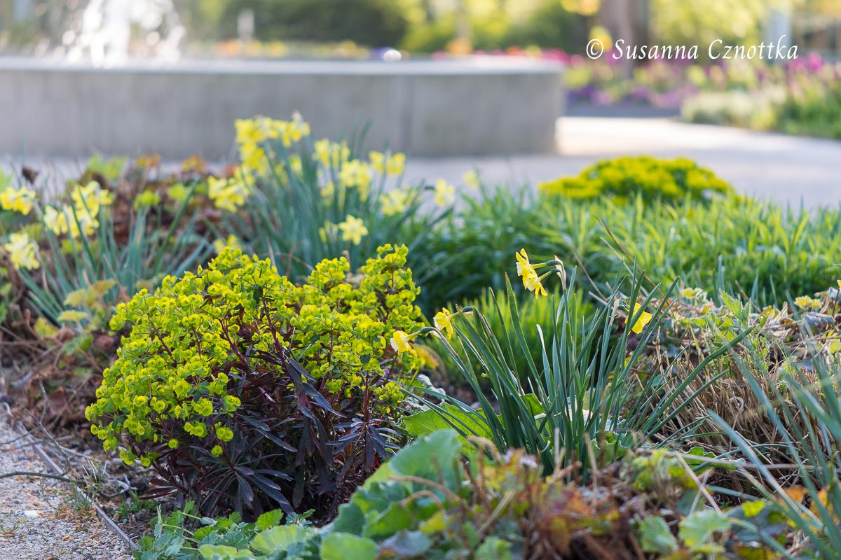 Gartenschau Bad Lippspringe, Wolfsmilch (Euphorbia) und kleine Narzissen
