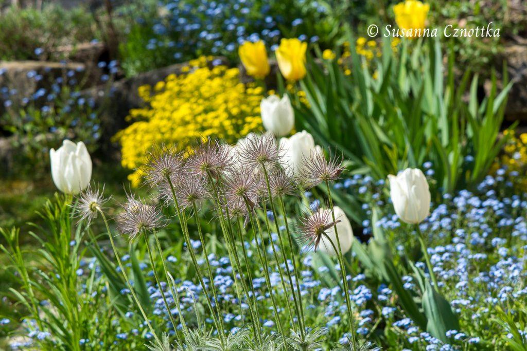Blütenstände mit weißen Tulpen, Vergissmeinnicht (Myosotis sylvatica) und Felsensteinkraut (Aurinia saxatilis)