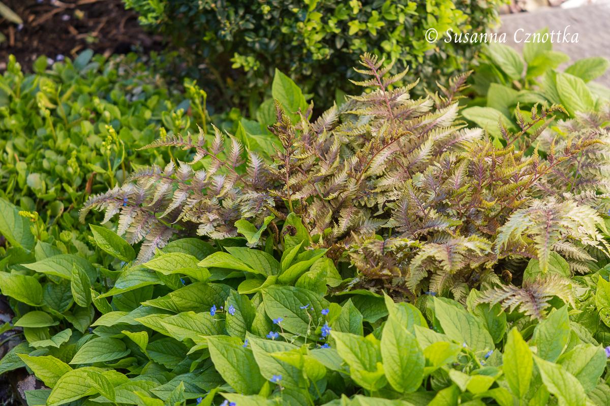 """Regenbogenfarn  (Athyrium niponicum """"Metallicum"""") und Frühlings-Gedenkemein (Omphalodes verna)"""