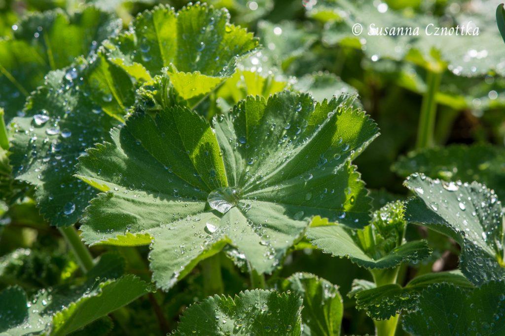 Weicher Frauenmantel (Alchemilla mollis) mit Regentropfen