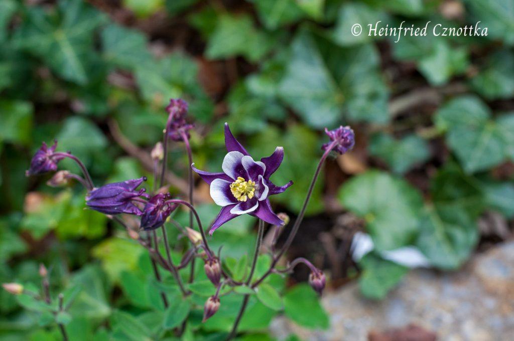 Akelei (Aquilegia vulgaris) mit zweifarbiger Blüte