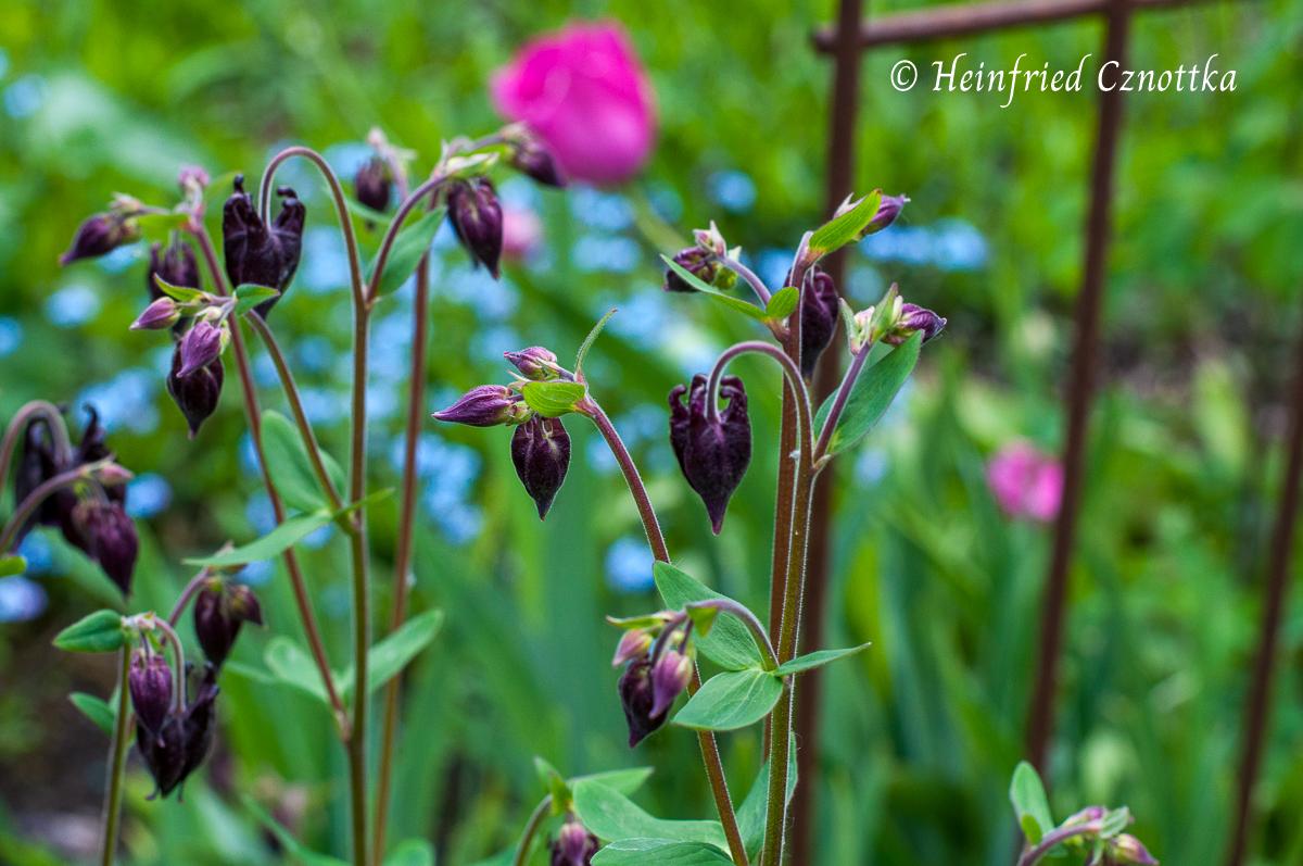 Akelei (Aquilegia vulgaris) mit Vergissmeinnicht und pinken Tulpen