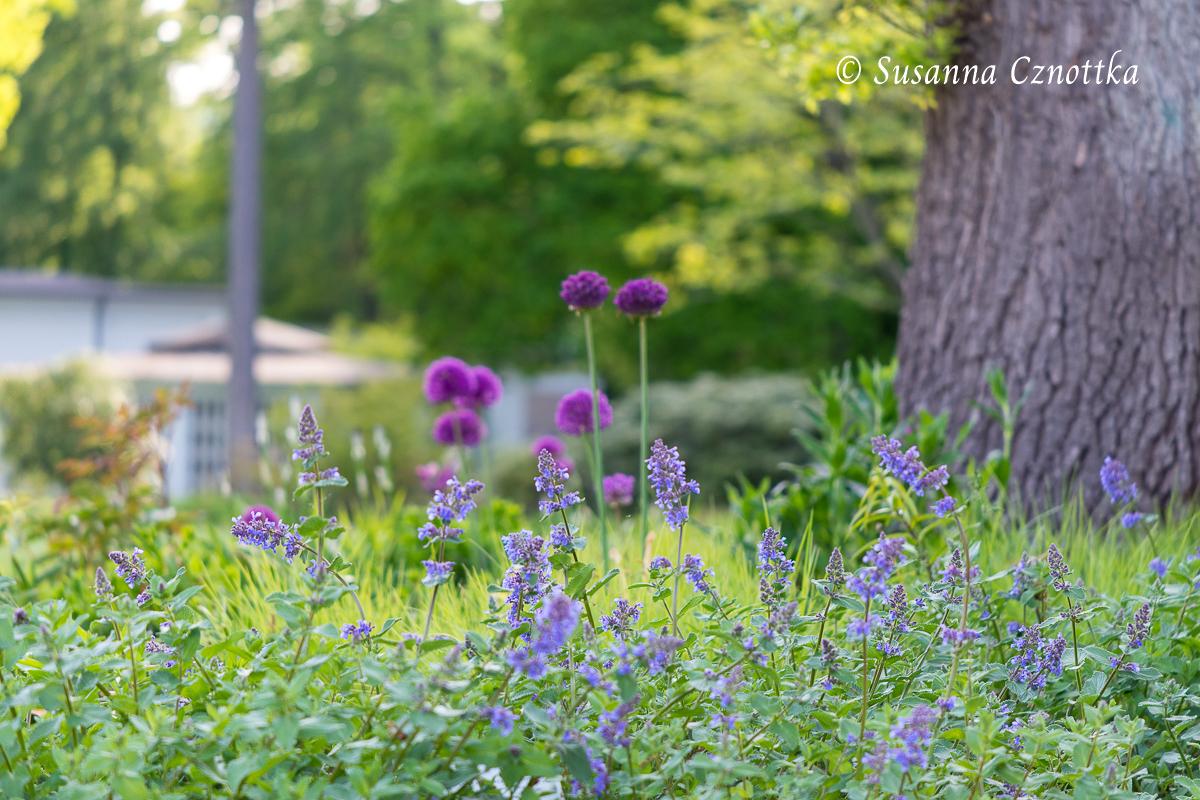 Katzenminze und Zierlauch leuchten blau und violett vor dem hellgrünen Austrieb der Gräser im Hintergrund