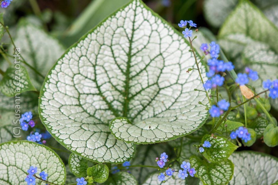 """Brunnera macrophylla """"Jack Frost"""", Kaukasus-Vergissmeinnicht """"Jack Frost"""""""