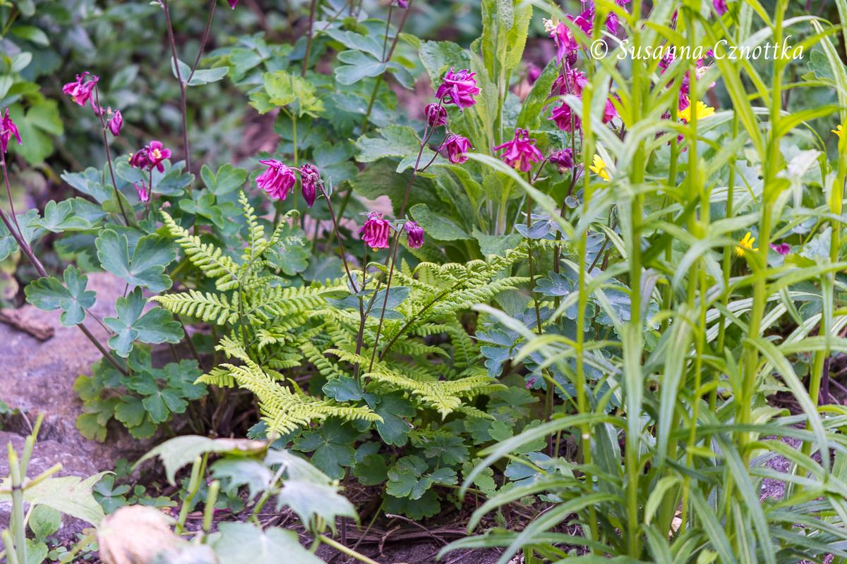 Zufallskombination: pinkfarbene Akelei  (Aquilegia vulgaris) mit hellgrünem Farn