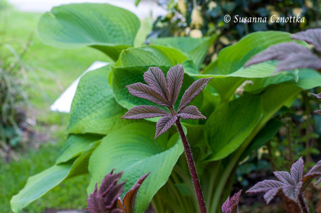 """Fiederblättriges Schaublatt (Rodgersia pinnata """"Chocolate Wings""""), bläulichen Funkie (Hosta) mit grünem Rand"""
