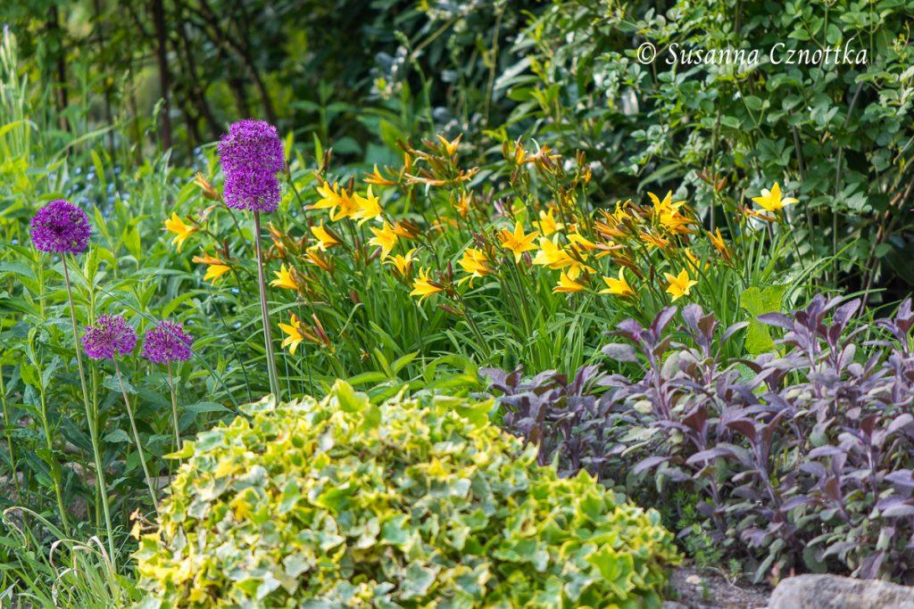 """Pflanzenkombination mit Zierlauch  (Allium aflatunense) """"Purple Sensation"""" und gelber Taglilie (Hemerocallis)"""