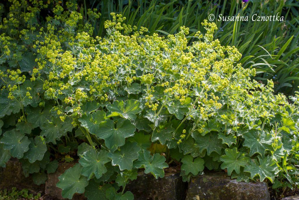 Weicher Frauenmantel (Alchemilla mollis)