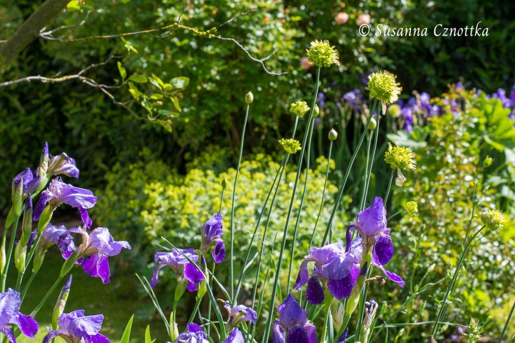 Iris, Allium obliquum, Scharfer Gelblauch