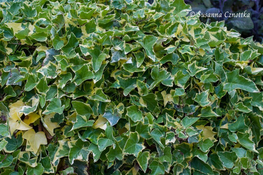 Gelbbunter Efeu (Hedera helix cultivar)