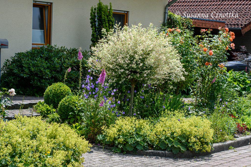 """Frauenmantel und Harlekin-Weide (Salix integra """"Hakuro Nishiki"""") haben sich gut entwickelt."""
