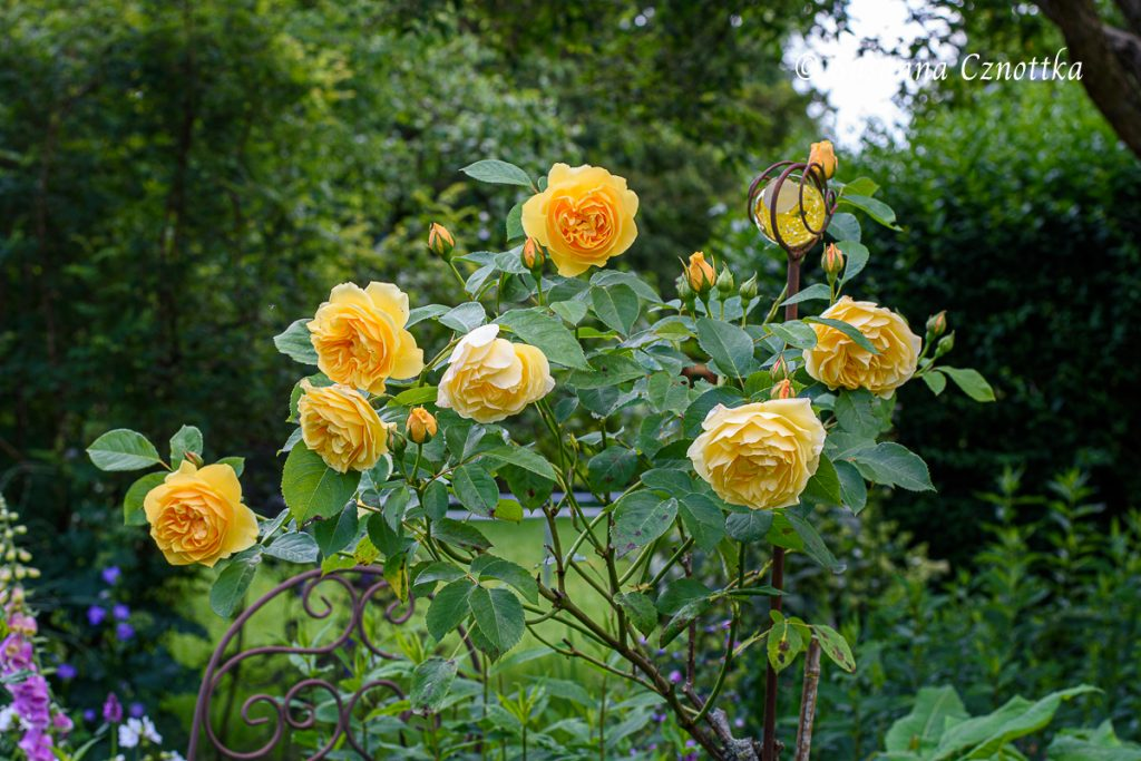 "Englische Rose ""Graham Thomas"""