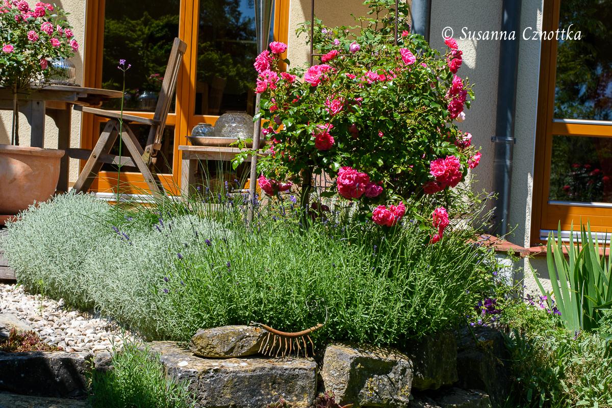 Lavendel und Graues Heiligenkraut rahmen ein Beet