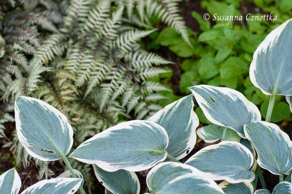 """Japanischer Regenbogenfarn (Athyrium niponicum """"Metallicum"""") und Funkie (Hosta """"El Nino"""")"""