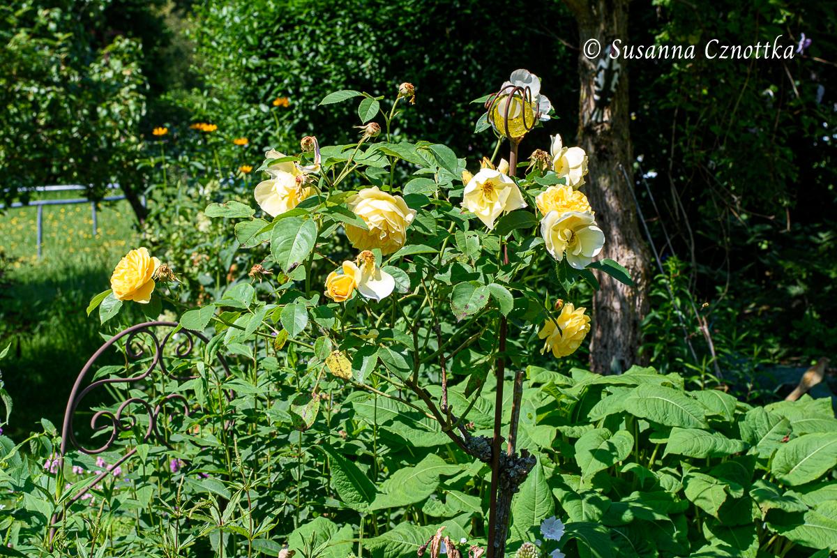 """Englische Rose """"Graham Thomas"""" mit einigen schon verblühten Blüten"""