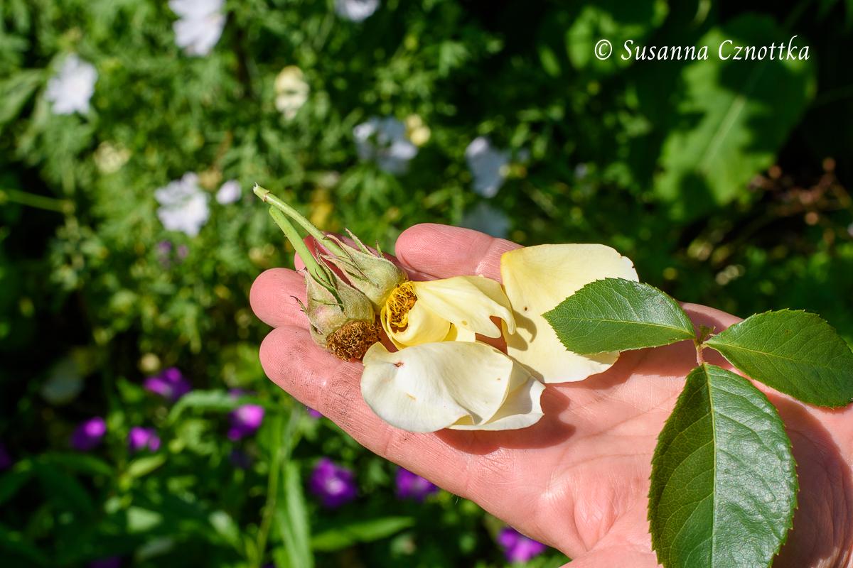 Verblühte Rosenblüten