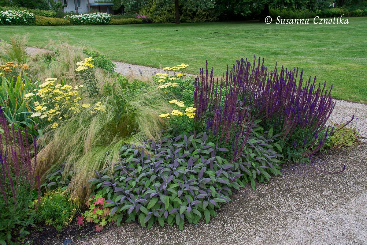 """Gewürzsalbei (Salvia officinalis) """"Purpurascens"""" nimmt mit seinen violetten Blättern die Farbe des Ziersalbeis (Salvia nemorosa) auf."""