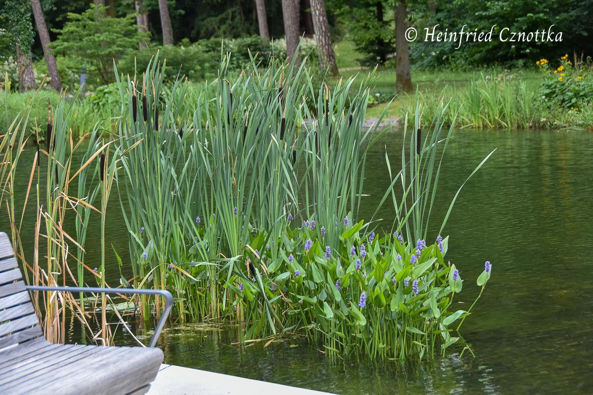Rohrkolben und Herzblättriges Hechtkraut (Pontederia cordata) an den Mersmannteichen