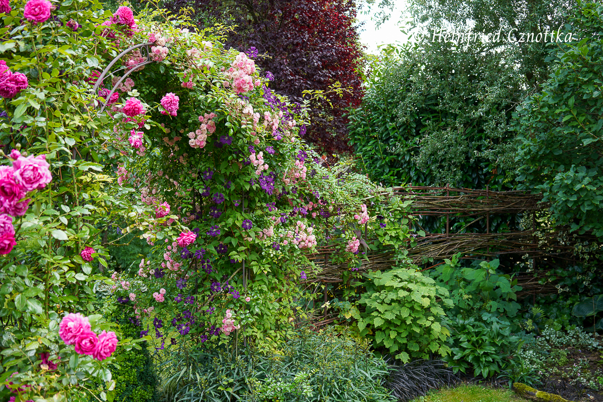 Rose und Klematis vom Rosenbogen erobern den Flechtzaun.