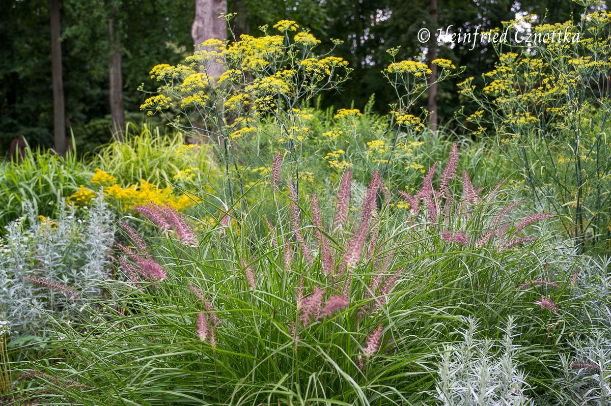 "Lampenputzergras (Pennisetum ""Karley Rose""), Fenchel (Foeniculum vulgare) und Beifuß (Artemisia ludoviciana)"