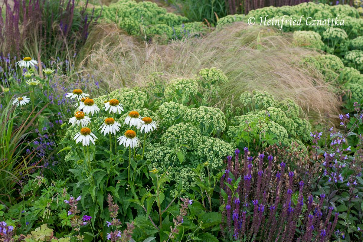 Fetthenne im Juli mit  weißem Sonnenhut (Echinacea purpurea), Zartem Federgras (Stipa tenuissima) und Steppensalbei (Salvia nemorosa) (Gartenschau  Bad Lippspringe)