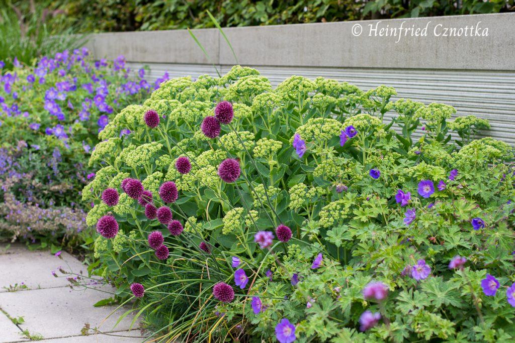 """Hier Mitte Juli mit Kugellauch (Allium sphaerocephalon) und Storchschnabel (Geranium """"Rozanne"""")"""