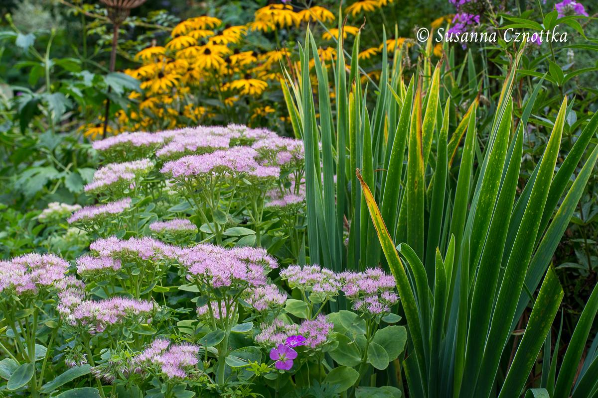 """Gelber Sonnenhut (Rudbeckia fulgida) mit Fetthenne """"Brilliant"""". Die schmalen, aufrechten Blätter der Deutschen Schwertlilie (Iris germanica) geben Struktur."""