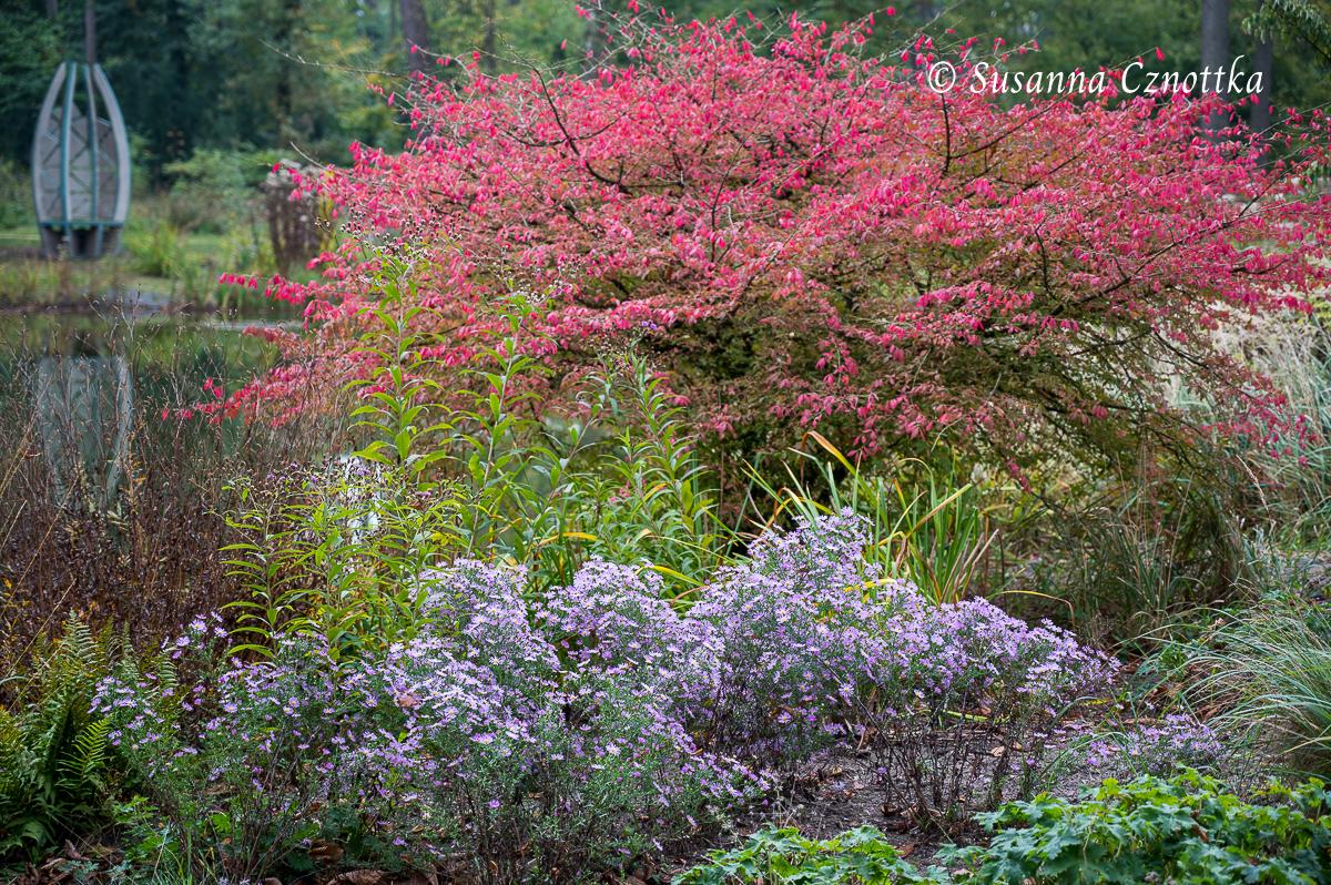 Korkspindelstrauch im Herbst zusammen mit violetten Astern