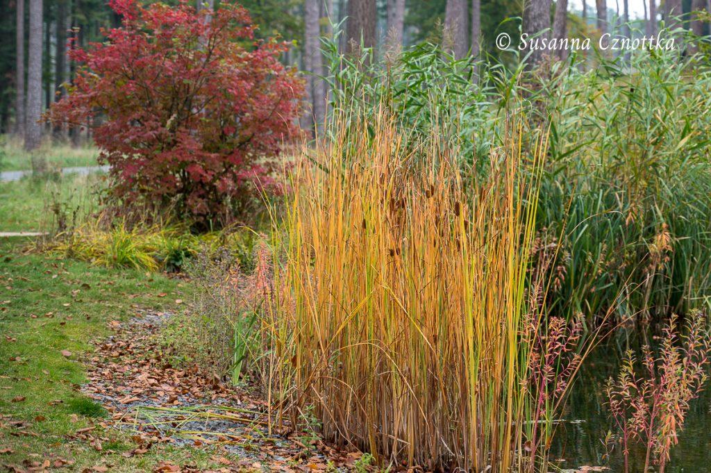Schmalblättriger Rohrkolben (Typha angustifolia) an den Mersmannteichen