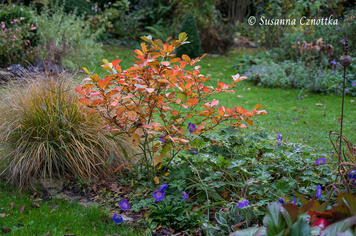 """Federbuschstrauch (Fothergilla) """"Blue Shadow"""" im Herbstkleid"""