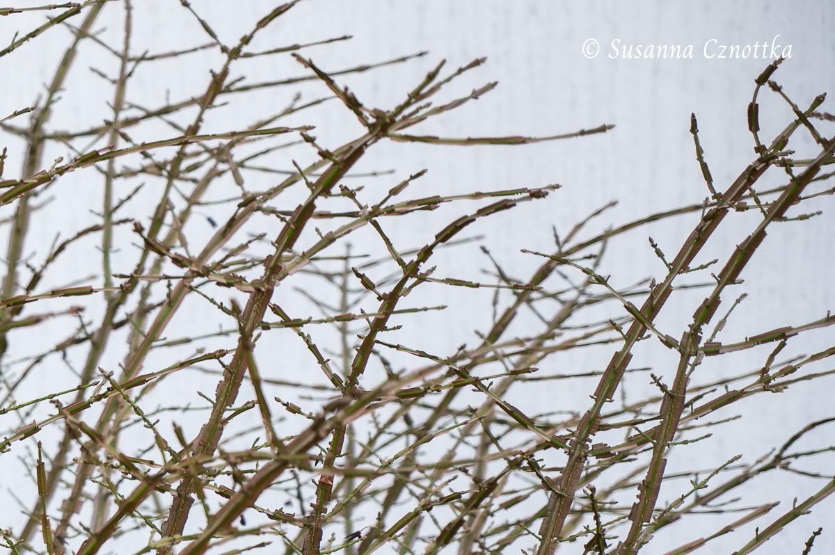Korkleisten des Korkspindelstrauches (Euonymus alatus)