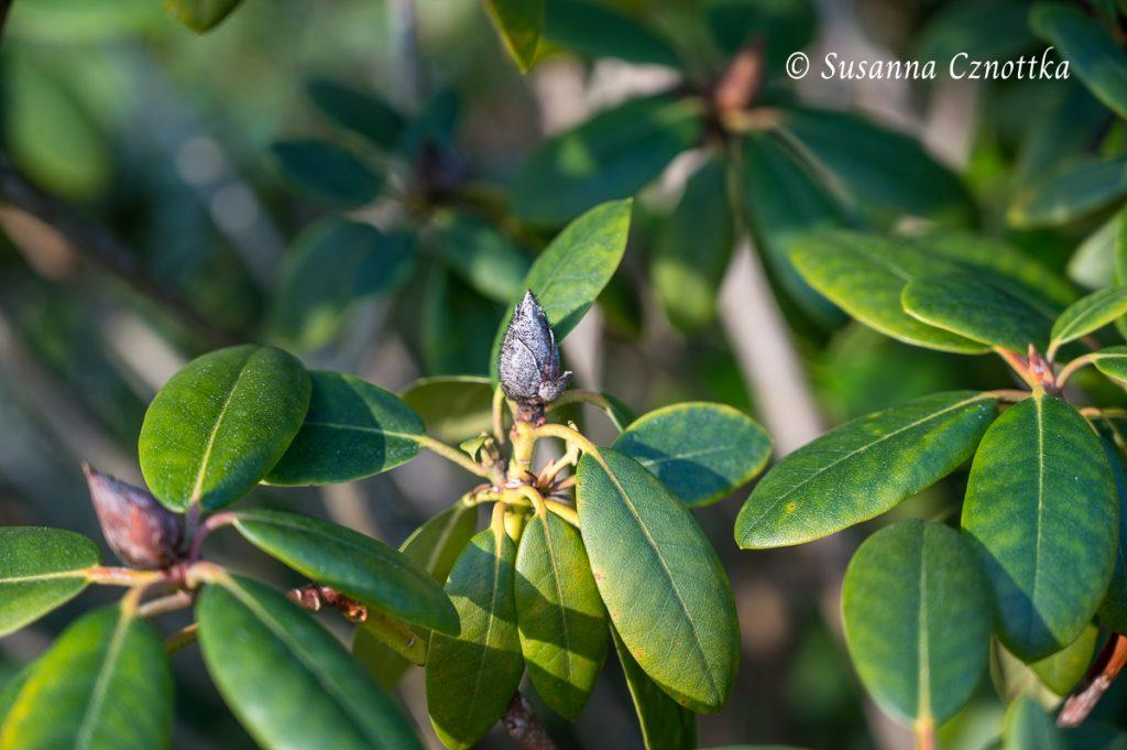 Der schwarze pelzige Belag auf der Blütenknospe des Rhododendrons wird von einem Pilz gebildet.
