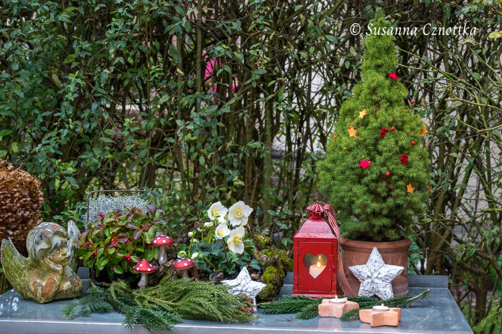 Die Zuckerhutfichte als Mini-Weihnachtsbaum