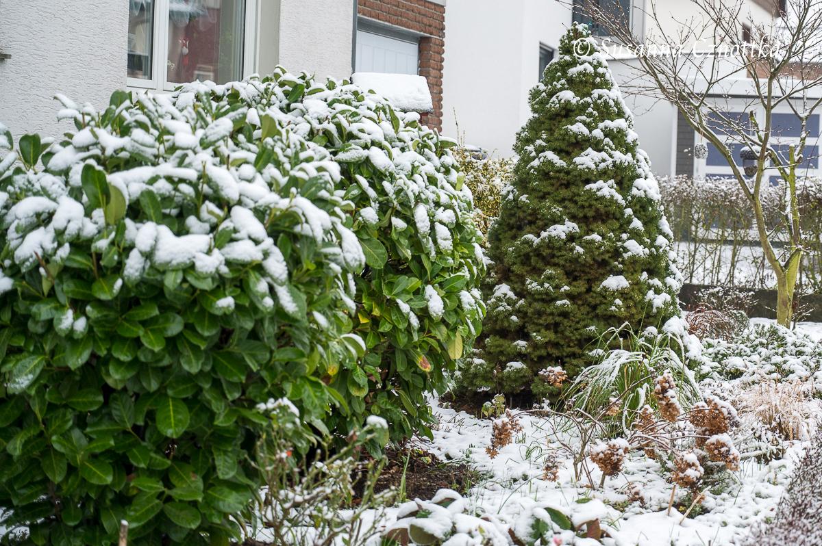"""Zuckerhutfichte (Picea glauca var. albertiana """"Conica"""") mit Schnee überzuckert"""