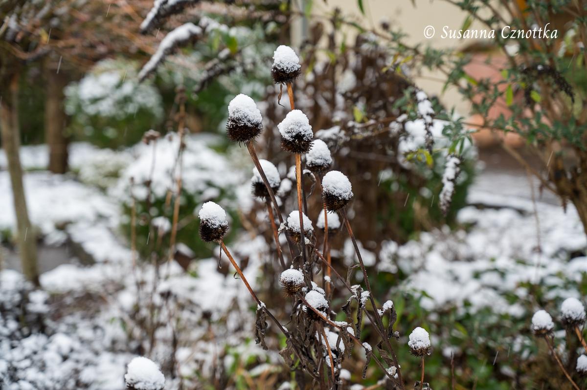 Samenstände von Echinacea purpurea mit Schneehäubchen