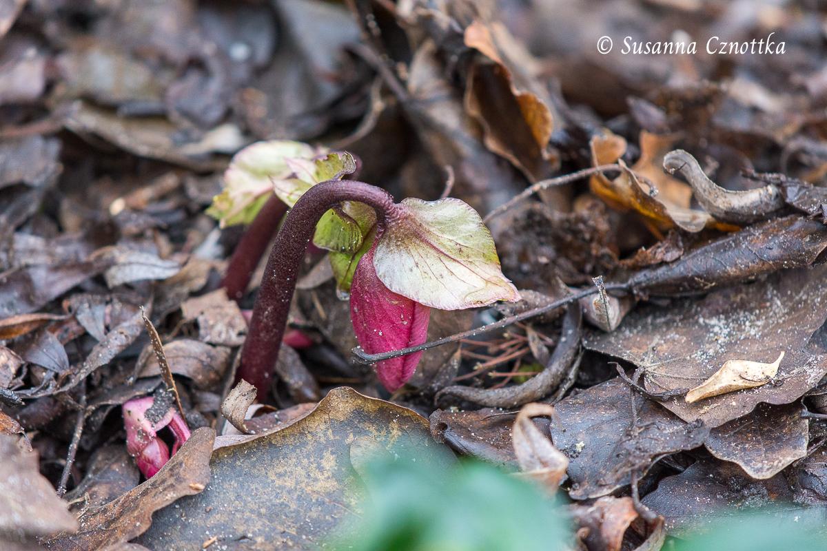 Rote Blütenknospe einer Lenzrose