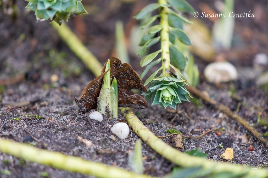 Austrieb einer Zwiebelpflanze