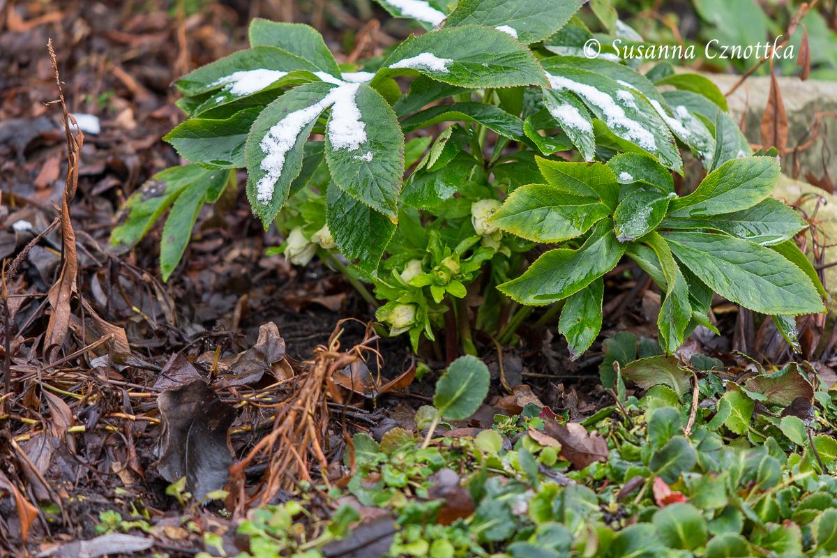 Lenzrose (Helleborus orientalis-Hybride) mit cremefarbenen Blütenknospen