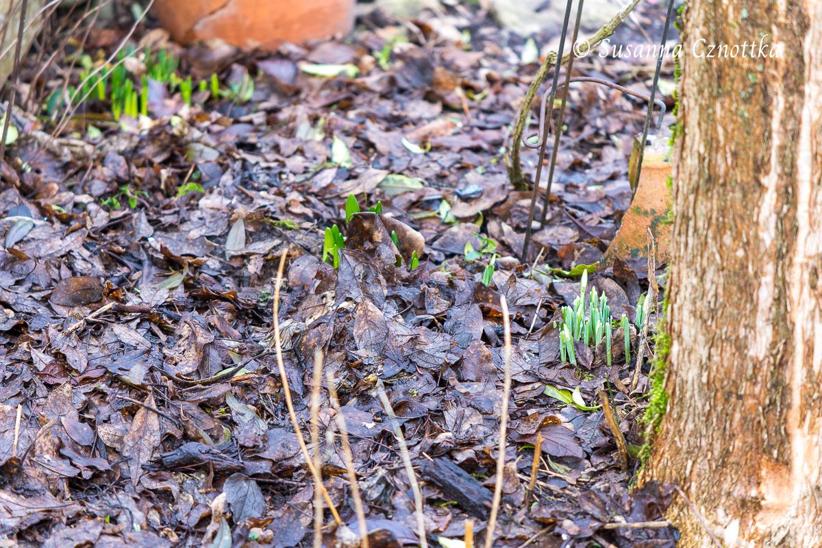 Die ersten Spitzen von Zwiebelblumen schieben sich durch die Laubschicht im Beet.