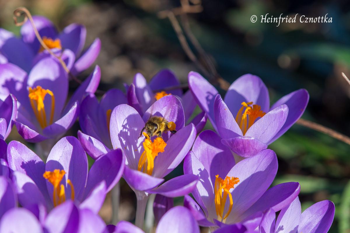 Biene auf einem Krokus