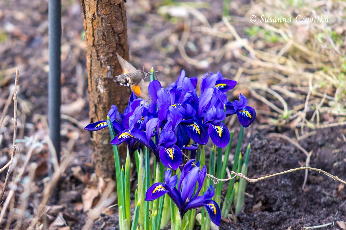 Taubenschwänzchen an der Netzblattiris (Iris reticulata)
